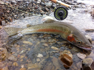 rainbow trout fish and the rod