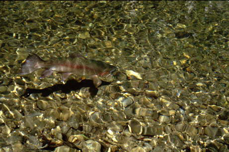 Fly Fishing : Rainbow Trout in the clear water